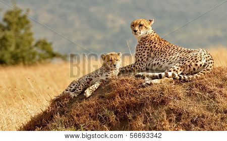 KENYA - AUGUST 11: African Cheetahs (Acinonyx jubatus) on the Masai Mara National Reserve safari in southwestern Kenya.