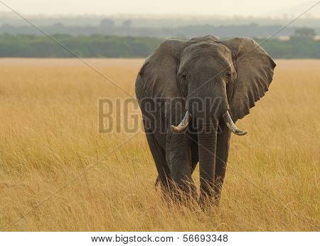KENYA - AUGUST 12: An African Elephant (Loxodonta africana) on the Masai Mara National Reserve safari in southwestern Kenya.