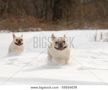 dogs in winter - two french bulldog running in the snow