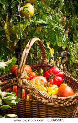 basket with tomatoes in a garden