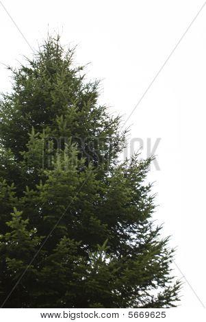 Árbol de abeto