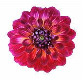 stock photo of chrysanthemum  - A red chrysanthemum dahlia isolated on white