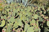 foto of nopal  - Edible Prickly Pear cactus with fruits - JPG