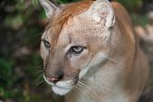 picture of cougar  - A large male cougar wrinkles his forehead in concentration as he looks on into the jungle - JPG