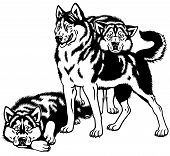 foto of husky sled dog breeds  - siberian husky sled dog  - JPG