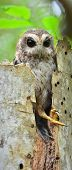 stock photo of screech-owl  - Cuban Screech - JPG