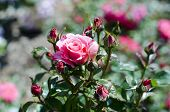 foto of english rose  - Pristine pink roses in an English garden - JPG