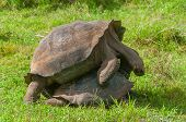 picture of animals sex reproduction  - Pair of mating Giant Galapagos Tortoises with grass background - JPG