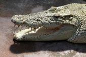 stock photo of crocodilian  - Australian Saltwater Crocodile with Mouth Open  - JPG