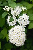 stock photo of meadowsweet  - white Spirea in a summer garden background - JPG