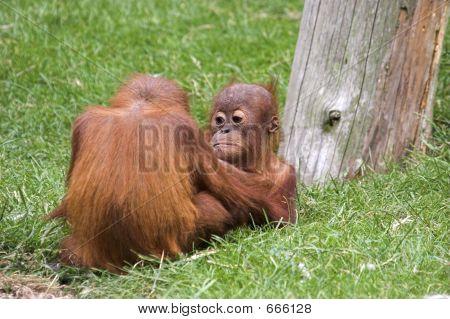Playful Orangutans