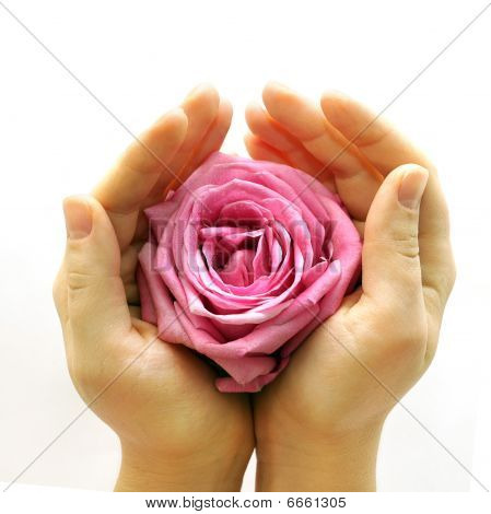 Pink Rose In Two Hands