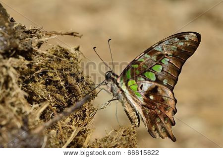Beautiful Green Spot, Tailed Jay, Butterfly Sipping Nectar On Elephant Shit