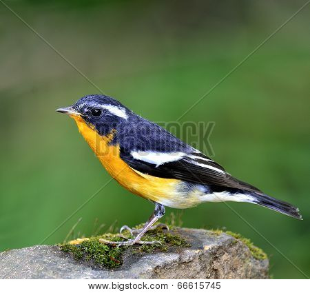 Beautiful Male Of Mugimaki Flycatcher Bird (ficedula Strophiata)