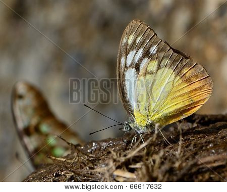 Beautiful White And Yellow Butterfly Sipping Nectar On Elephant Shit