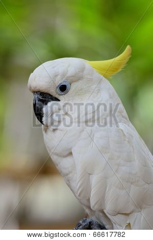 Beautiful White Cockatoo Bird, Sulphur-crested Cockatoo (cacatua Galerita)