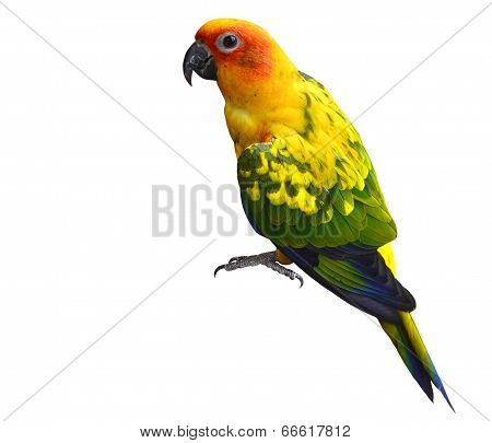 Beautiful Yellow Parrot Bird, Sun Coure, Isolated On White Background With Sharp Eyes