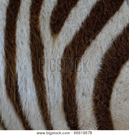 Camouflage Background Pattern Of Zebra Fur Texture