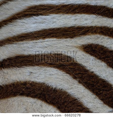 Close Up Of Camouflage Background Pattern Of Zebra Fur Texture