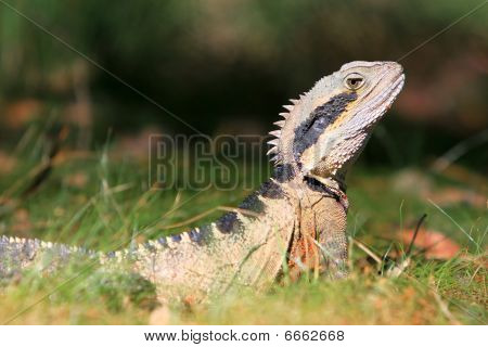 Australian Eastern Water Dragon in the grass.