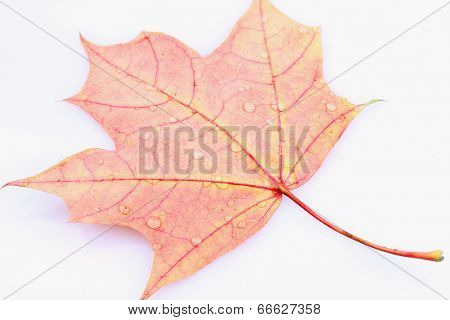 Leaves With Drops Of Water (isolated)