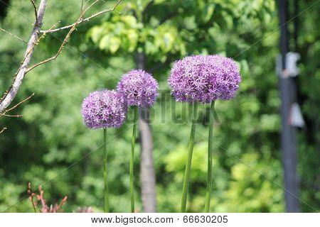 Allium Flower (Ornamental  Onion)