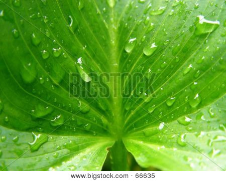 Wet Calla Leaf