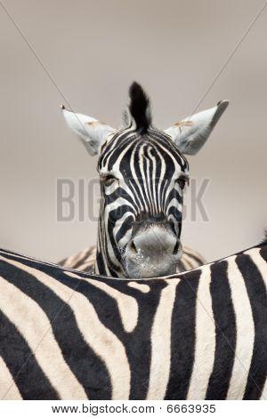 Sleeping Zebra Portrait