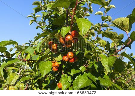 Crabapple Tree With Fruits