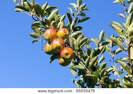Fresh Crisp Apples On The Tree