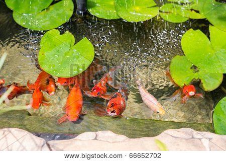Goldfish In Natural Pond