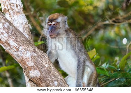 Long tailed Macaque Monkey in the rainforest