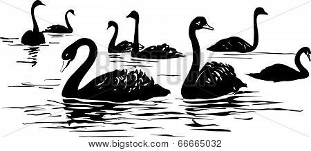lake with black swans