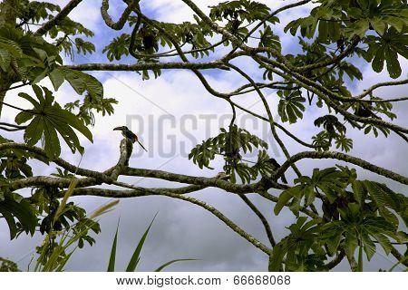 Keel-billed Toucan (Ramphastos sulfuratus)