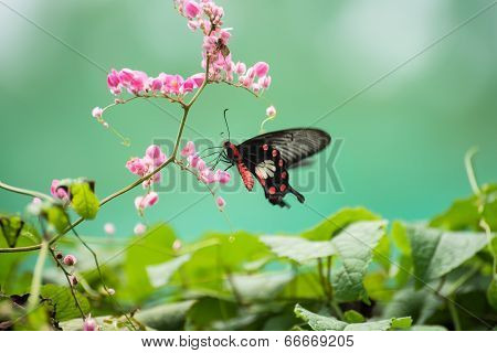 The Common Rose Swallowtail Butterfly On Pink Flowers Close Up