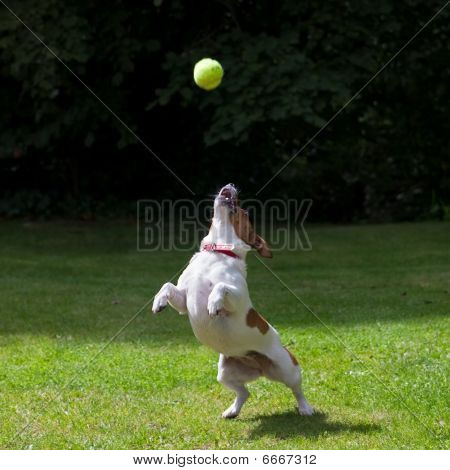 Jack Russell Terrier Jumping For A Ball