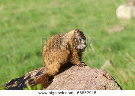 Marmot Scratching