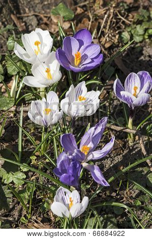 White and lilac crocus