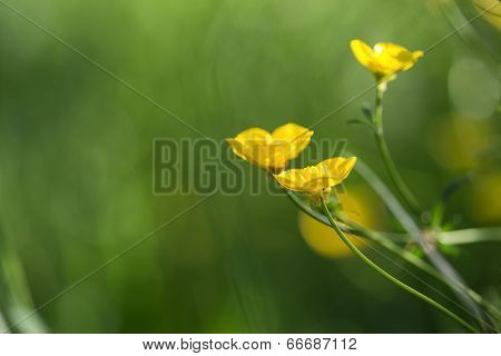 Close Up Image Of Vibrant Buttercups In Wildflower Meadow Landscape