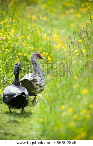 Ducks waddling through a meadow