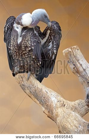 Ruppell's Griffon Vulture On A Dead Tree