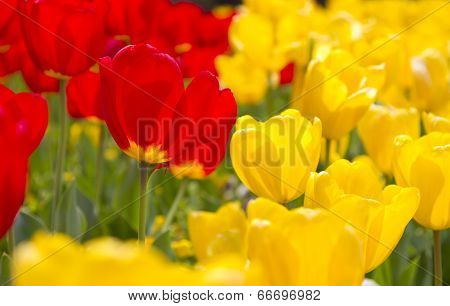 Vibrant Spring Flowers In Full Bloom In Red And Yellow