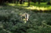 picture of black widow spider  - Hunting spider in its web - JPG