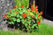 stock photo of nasturtium  - Nasturtium (Tropaeolum majus) flowering in a garden