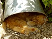 foto of yellow tabby  - red tabby cat resting under the bucket in very hot summer day - JPG