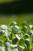 pic of borage  - Young herb plants of the borage seedling with water drops and copy space in the upper area of the image - JPG