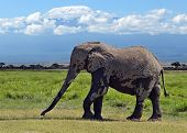 stock photo of kilimanjaro  - Kilimanjaro elephant in Amboseli National Park Kenya