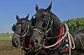 stock photo of blinders  - A team of black horses are collared and harnessed  for pulling a drag in the field - JPG