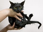 foto of black cat  - Cute black soggy cat after a bath funny little demon - JPG