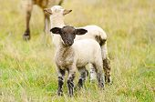 pic of spring lambs  - Oregon spring lambs in a ranch pasture